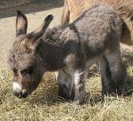tiny burro