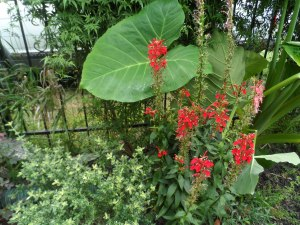 I've always wanted to grow Cardinal Flowers.